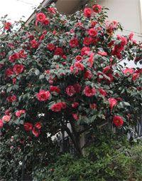 Camellia Sasanqua Yuletide Flowering Away In Our Nursery