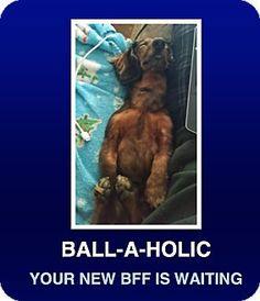 Morrisville, PA - Dachshund. Meet Yammy, a dog for adoption. http://www.adoptapet.com/pet/16990779-morrisville-pennsylvania-dachshund