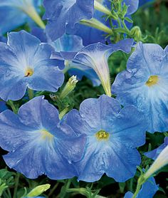 Petunia, Sky Blue (Burpee)  Like Morning Glories without all the...issues.  XD
