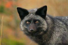 Wild fox in the San Juan Islands, Washington