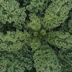 Kale: A Growing Guide | From Organic Gardening