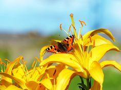 #Schmetterling auf gelber #Lilie