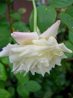 Tea Rose: Rosa 'White Maman Cochet' (discovered before 1896)