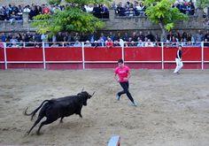 Santacara: Vacas Merino de Marcilla Fiestas de Santa Eufemia ...