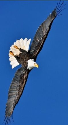 Eagle Images, Eagle Pictures, Owl Bird, Pet Birds, Largest Bird Of Prey, Eagle Wallpaper, Haida Gwaii, Eagle Art, Eagle Wings