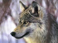 lobo - Pesquisa Google