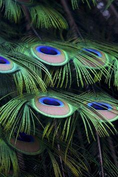 'Peacock Eyes' | ©William Diodati