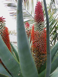 Aloe speciosa from Dave's garden