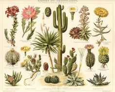 CACTUS, KAKTEEN,1894 Original Antique Chromolithograph