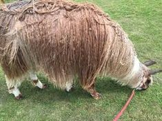 suri llama - Google Search Horses, Google Search, Animals, Animaux, Horse, Animal, Animales, Animais
