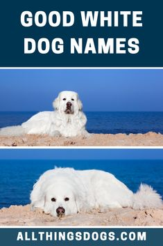 One of our favorite white dogs is the American Eskimo, they are very intelligent and are a good size for a first time pet owner. Whether you have one of these or any other dog, check out our lits of good white dog names that match their fluffy white coat. #goodwhitedognames #whitedognames #gooddognames Big Dog Names, Cool Pet Names, White Fluffy Dog, Fluffy Dogs, White Puppies, White Dogs, Best Big Dogs, Shih Tzu Poodle, Great Pyrenees Dog