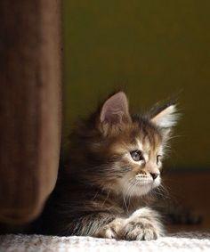 Cute Cartoon Animals Sea their cute hilarious kittens by Cute Baby Kitt … – Adorable Kittens – Animals Kittens And Puppies, Cute Cats And Kittens, Baby Cats, Cool Cats, Kittens Cutest, I Love Cats, Baby Animals, Animals Sea, Kittens Playing