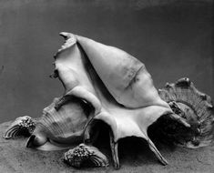 Shells about 1930 Imogen cunningham Invention Of Photography, Photography Exhibition, Modern Photography, Monochrome Photography, Artistic Photography, Image Photography, Black And White Photography, Florence Henri, Exhibition Film