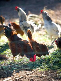 looking for a reason to raise backyard chickens? Here are 10…top reasons to raise chickens