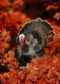 Wild Turkey - hope this poor sweetie makes a quick getaway before thanksgiving :o)