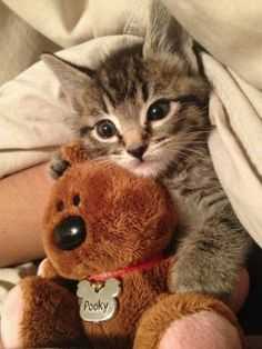Cute Baby Animals / kittens and cats love stuffed animals! SO stinkin' cute Kittens And Puppies, Cute Cats And Kittens, Baby Cats, Kittens Cutest, Funny Kittens, Ragdoll Kittens, Bengal Cats, White Kittens, Kitty Cats