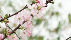 Find images of Cherry Blossom. ✓ Free for commercial use ✓ No attribution required ✓ High quality images. Yoga Images, Relaxing Colors, Spring Images, Cherry Blossom Flowers, Soft Colors, High Quality Images, Graphic Illustration, Delicate, Bloom