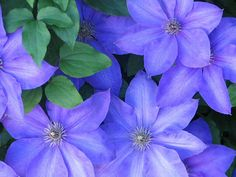 Articles about growing vines with tips and growing hints for all the major garden vines fron garden author Doug Green Exotic Flowers, Love Flowers, Purple Flowers, Spring Flowers, Beautiful Flowers, Shade Flowers, Blue Clematis, Climbing Clematis, Clematis Vine