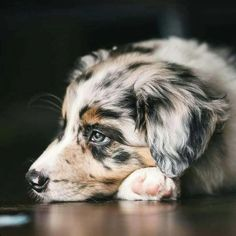 Australian Shepherd Blue Heeler mixes 🐕 are adorable, but are they the perfect dog for you? Learn 3 reasons vets warn against adopting a Blue Heeler Australian Shepherd Mix 🚫 Australian Shepherd Blue Heeler, Australian Shepherd Puppies, Aussie Puppies, Cute Dogs And Puppies, Pet Dogs, Australian Shepherds, Doggies, Corgi Puppies, Aussie Shepherd Puppy