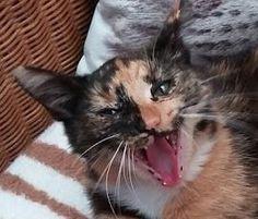 Kätzchen Fridi gähnt, Foto: S. Hopp