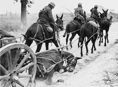 A mule of the 4th Division in a limber team just hit by a shell splinter at Remy during the Battle of the Drocourt-Queant Line on the Western Front in France during World War I in September 1918 - pin by Paolo Marzioli