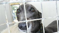The fight to  close the Canidrome , the world's deadliest dog track, continues! The Macau Canidrome is China's only legal dog track and thousands of innocent Australian greyhounds have been sent there to be used and killed since 1963.    Thankfully, the export of greyhounds to Macau was suspended in...