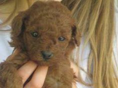 mini toy poodle - Google Search Moyen Poodle, Toy Poodle Puppies, Mini Dogs, Mocha, Miniatures, Teddy Bear, Poodles, Toys, Cute
