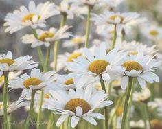 Coming Up Daisies, White, Yellow,  Boho, Green, Nature, Summer, Home Decor, Fine Art Photograph, 8x10 Print. $22.00, via Etsy.
