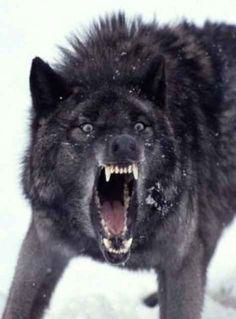 Resultado de imagen para lobos negros