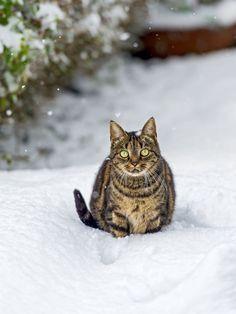 Snow Cat by Tambako The Jaguar