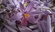 erbe aromatiche officinali: Zafferano coltivazione e proprietà giallo zafferan...