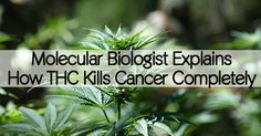 From Compultense University in Madrid, Spain, Dr. Christina Sanchez has been studying the anti-tumor effects of THC, the main psychoactive component of cannabis for over a decade. She delivers sound information that explains exactly how THC kills cancer cells entirely – without adverse effects to healthy cells. Her research is...More