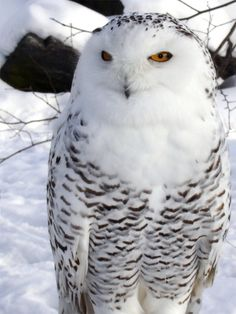 Snow Owl By: kokotweety    http://naldzgraphics.net/photography/owl-pictures/