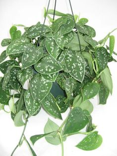 silver satin pothos: low light, keep soil moist but not soggy, take clippings in the spring and root them in the same container to create a fuller plant Room With Plants, All Plants, Live Plants, Garden Plants, Cactus Plants, Indoor Plants Low Light, Outdoor Plants, Planting Succulents, Planting Flowers