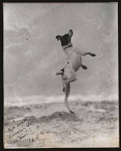 one of my favorite breeds, the rat terrier, photographed by Jacques Henri-Lartigue