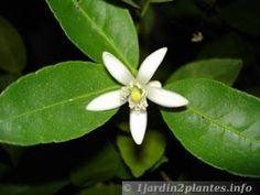citronnier 4 saisons en fleur en Janvier