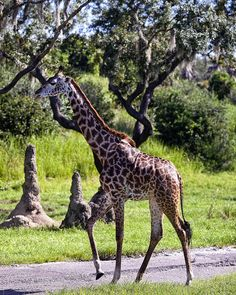 Walt Disney World - Animal Kingdom - Giraffe