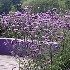 Meadow Garden, Dream Garden, Verbena, Back Gardens, Outdoor Gardens, Beautiful Gardens, Beautiful Flowers, Hillside Landscaping, Purple Garden