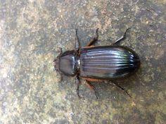 """Patent-Leather Beetle or """"Jerusalem beetle"""" or Horned Passalus, Odontotaenius disjunctus (Coleoptera: Passalidae)"""