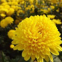 aksiyon Yellow Marigold Seeds, Chrysanthemum Seeds, Yellow M Beautiful Flowers Pictures, Beautiful Flowers Wallpapers, Flower Pictures, Crysanthemum, Yellow Chrysanthemum, Name Pictures, Bonsai Seeds, Flower Meanings, Marigold Flower