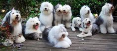 Family of Old English Sheepdogs.