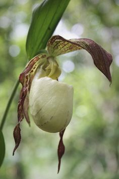 Kentucky Hardy Ladyslipper Orchid for sale buy Cypripedium kentuckiense