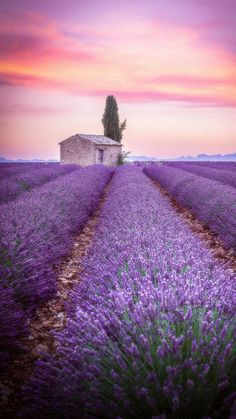 Lavender Fields, Lavender Flowers, Purple Flowers, Lavander, Nature Images, Nature Pictures, Landscape Photography, Nature Photography, Beautiful Flowers