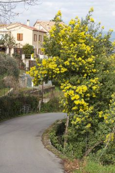 Tanneron. Mimosa Road. Provence, France #mimosa #tanneron #mimosaroad #provence