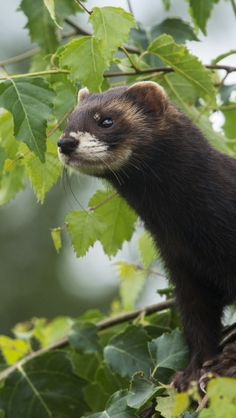 weasels, wild, small, fluffy, wool