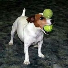 Clever Balancing Act Jack Russell...:)