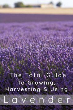 Lavender Plant Care, Growing Lavender, Lavender Garden, Lavender Fields, Lavender Hidcote, Lavender Uses, Lavender Plants, Roses Garden, Growing Herbs