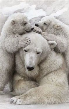 Polar Mom and cubs