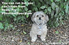 Get Rid of Fleas and Tapeworms with #SentinelSpectrum ~ Tenacious Little Terrier