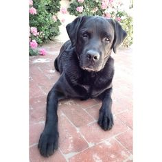 Being reunited with Buzz is #TheSilverLining of coming home to beloved #SantaBarbara! #labrador #ilovehimsomuch